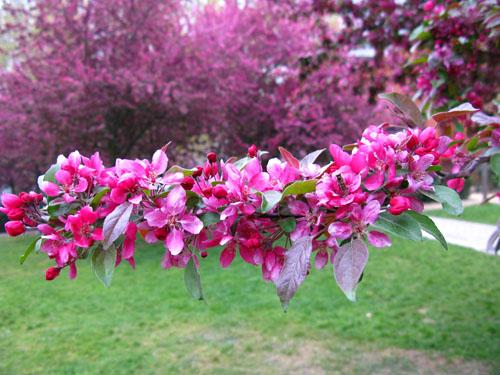 pinktrees3